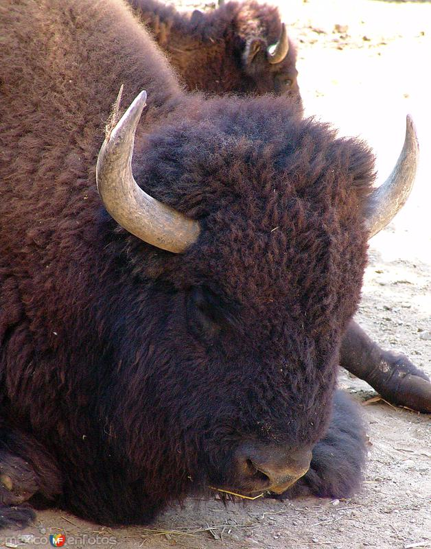 Fotos de Ciudad Guadalupe, Nuevo León, México: Bisonte americano