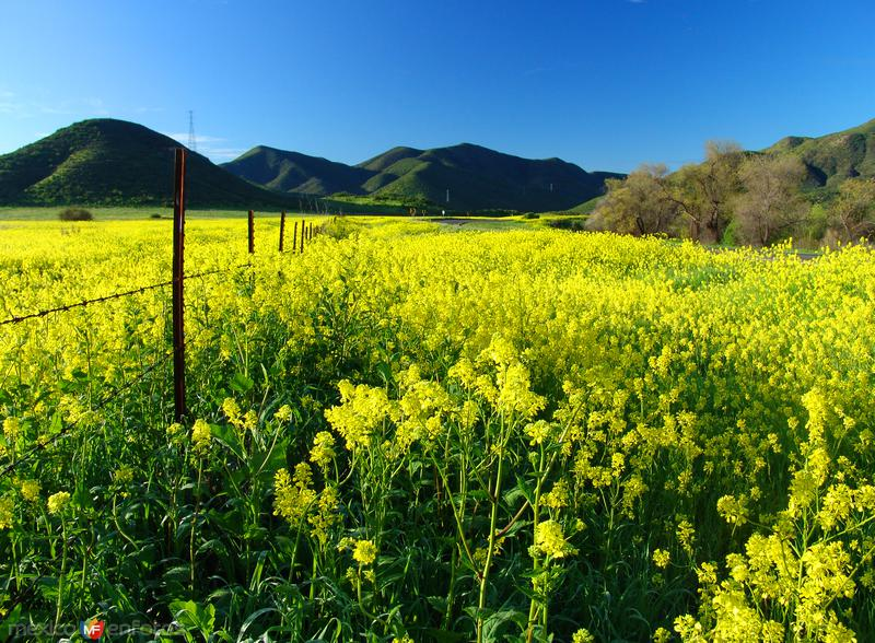 Campo de flores de mostaza