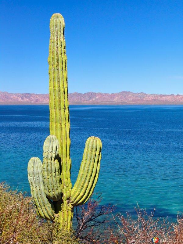 Fotos de Bahía Concepción, Baja California Sur, México: Cactus Saguaro