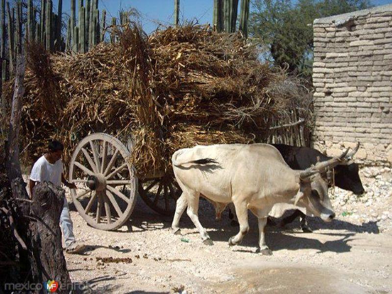 Carreta cargada de rastrojo en Col. Alvaro Obregon