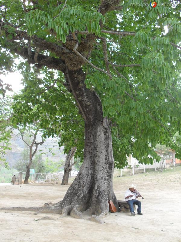 ceiba longeva en la antigua misión de Gamotes