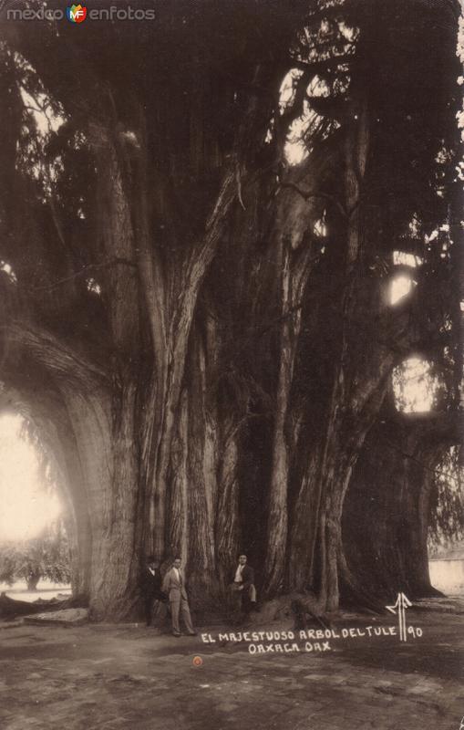 El Majestuoso Árbol de Tule