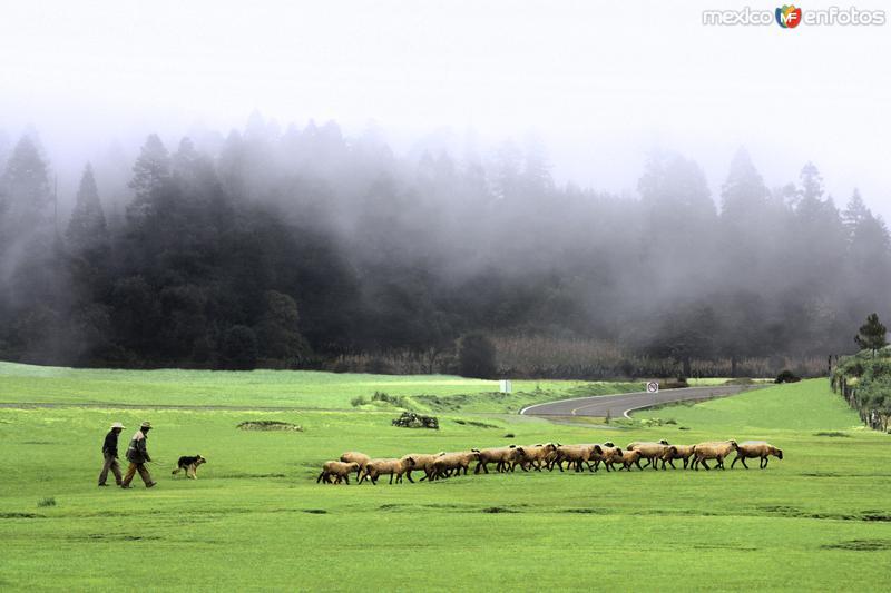 NATURALEZA: Pastores y rebaño de obejas entre la niebla. Cuautelolulco