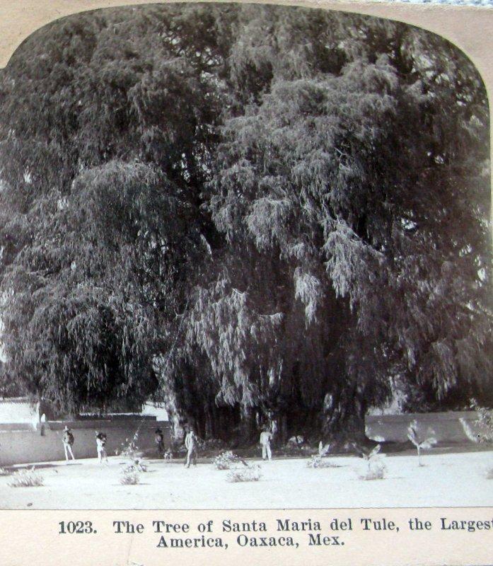El arbol del Tule Hacia 1900