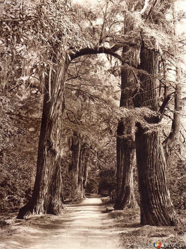 Ahuehuetes en el Parque de Chapultepec (circa 1920)