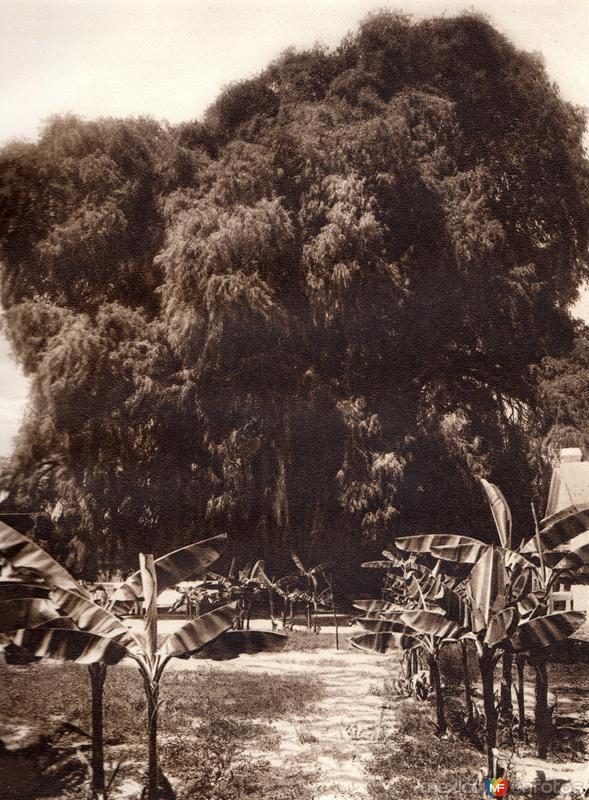 El Árbol del Tule (circa 1920)