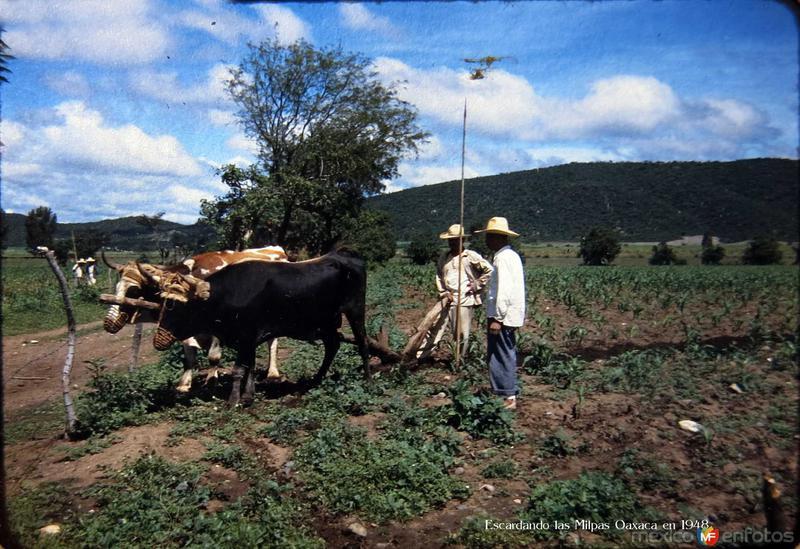 Escardando las Milpas alrededores de Oaxaca en 1948