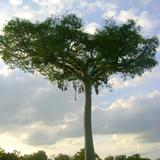 Ceiba con nidos de aves