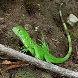 iguana verde 2