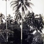 Bajando tuba en una huerta de  Colima Hacia 1900