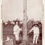 Extracci�n del hule en la hacienda Cullen Pearson