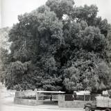 Un ahuehuete de San lorenzo (Alla por 1930-1950)
