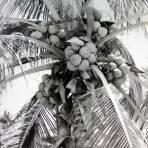 Tipos Mexicanos Cocotero Palmeras y sus cocos   ( 1930-1950 ) - Acapulco, Guerrero