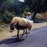 Tipos Mexicanos viniendo de cosechar las mazorcasde Maiz