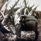 Tipos Mexicanos Tlachiquero vaciando el Pulque del Acocote por el fotografo Felix Miret. - Ciudad de México, Distrito Federal