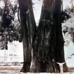 Un Ahuehuete en el Bosque de Chapultepec por el fotografo Hugo Brehme. - Ciudad de México, Distrito Federal