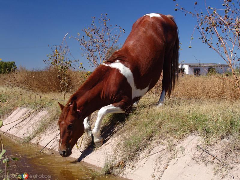Caballo bebiendo agua