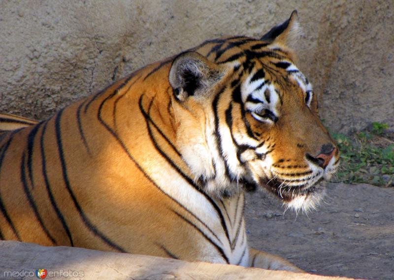 Tigre en el parque La Pastora