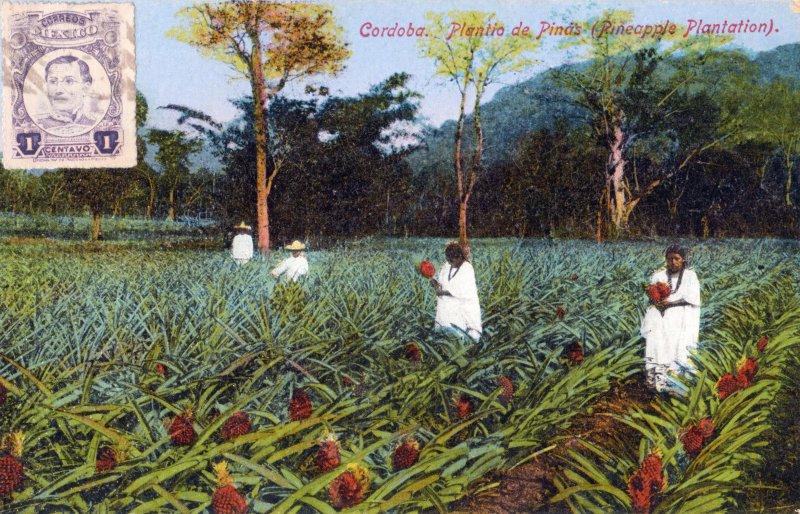 Plantío de piñas