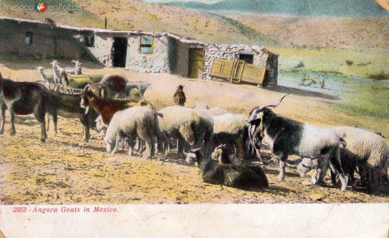 Cabras de Angora en México