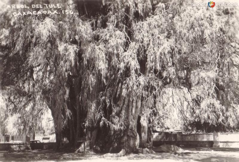 Árbol de Tule