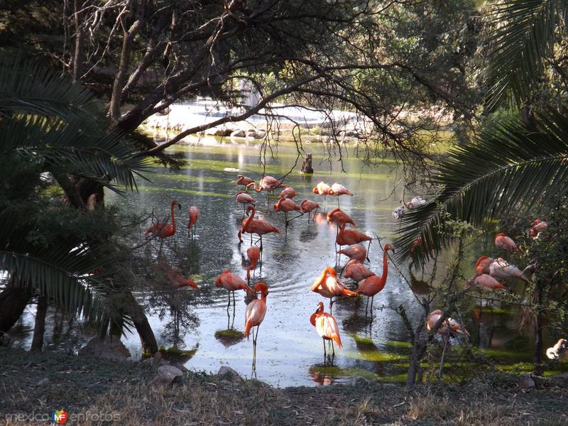 Lago y flamencos en Zooleón. Noviembre/2012. León, Gto