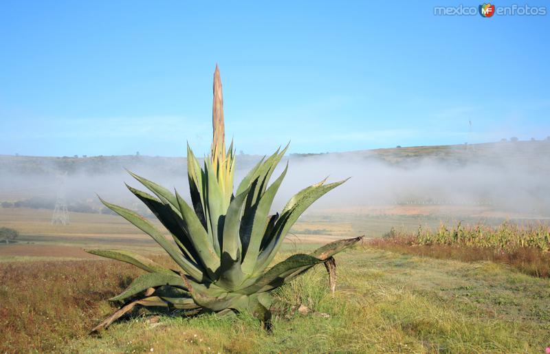 Maguey y niebla
