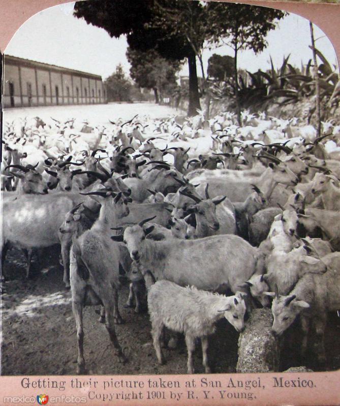 Pedregal de San Angel Rebano de Chivas Hacia 1900