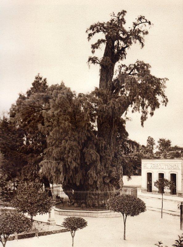 El Árbol de la Noche Triste (circa 1920)