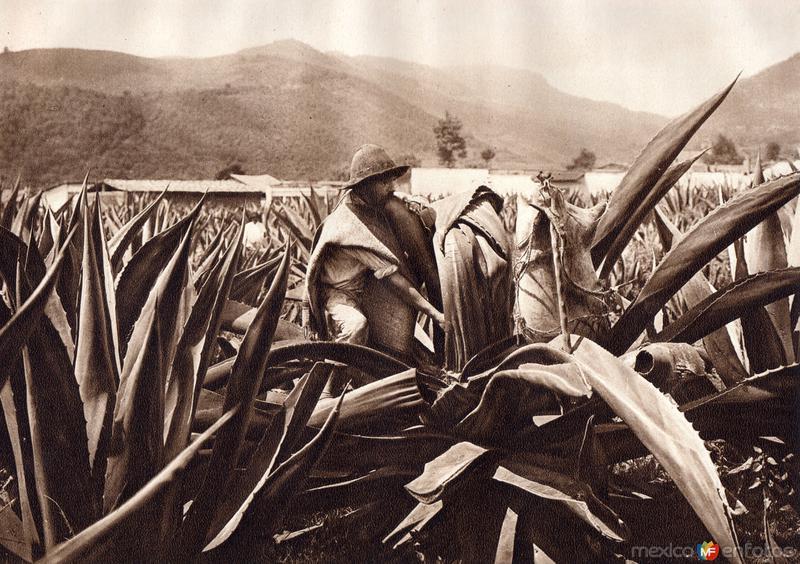 Tlachiquero sacando el pulque del maguey (circa 1920)