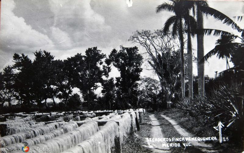 Secando el Henequen en una Hacienda Henequera Circa 1947