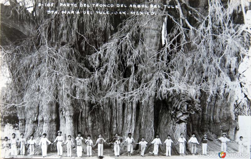 Parte del tronco del Arbol del Tule