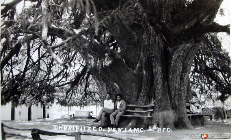ARBOL ANEJO CHURIPITZEO Hacia 1930