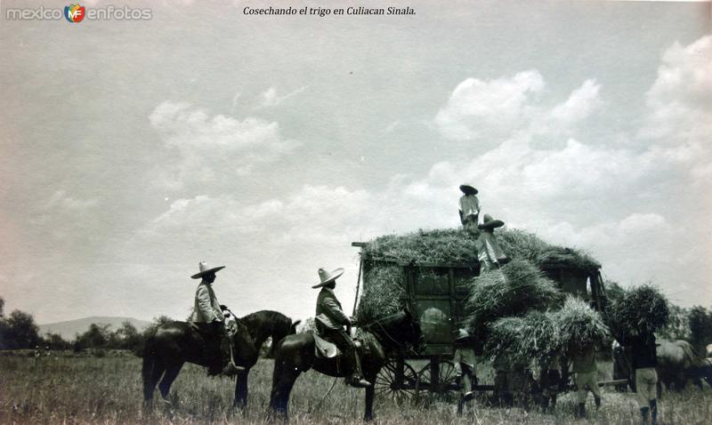 Cosechando el trigo en Culiacan Sinaloa.