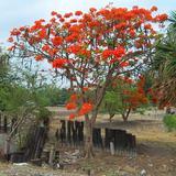 Árbol de flamboyan