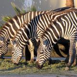 Cebras en el parque zoológico La Pastora