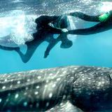 Whale Shark Safari