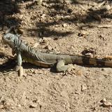 faúna silvestre en ixtapa, iguana