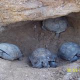 Tortugas Del Desierto De Sonora