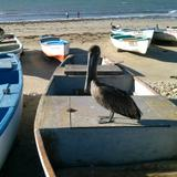 pelicano posando