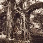 Arbol con Amate (circa 1920)