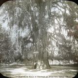 Un Ahuehuete del Bosque de Chapultepec por William Henry Jackson 1894