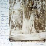 El Arbol de Moctezuma en Chapultepec ( Fechada 13 de Agosto de 1902 )
