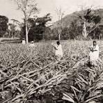 Cultivo de la piña en Amatlán