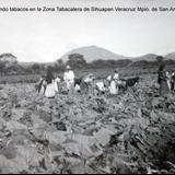 Cosechando tabacos en la Zona Tabacalera de Sihuapan Veracruz Mpio. de San Andres Tuxtla.