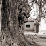 Cabeza de León, en el tronco del árbol del Tule