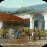 Acarreando la cana de azucar a la molienda por el Fotógrafo Charles B. Waite 1904.