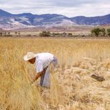 Segando el trigo (1951)