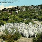 Pelícanos en la Isla Coronado