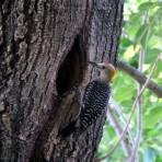 Un Querreque, Pájaro Carpintero